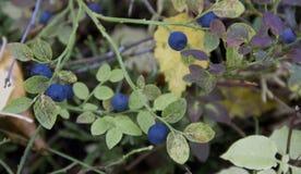 Vacciniumuliginosum fotografering för bildbyråer