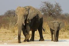 Vache à éléphant avec la chéri Image stock