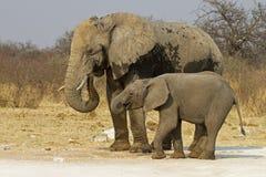 Vache à éléphant avec la chéri Photographie stock libre de droits