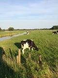 Vache à agriculture Photo stock