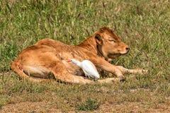 Vache à Alentejana et héron de bétail, région de l'Alentejo, Portugal Photo libre de droits