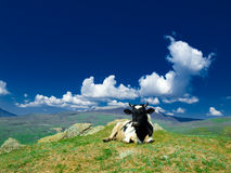 vache à alpin Photographie stock