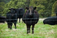 Vache à Angus derrière la barrière, vache enceinte, grand veau à côté de elle, encore plus de vaches au fond Photo stock