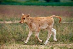 Vache à bébé Image stock
