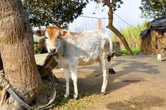 Vache à bébé Photographie stock