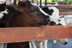 Vache à bébé dans la ferme Image stock
