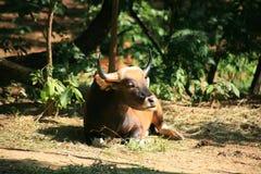 Vache à Banteng/javanicus de Bos Images stock