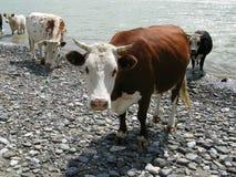Vache à Brown. Photo libre de droits