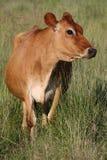 Vache à Brown Photographie stock libre de droits