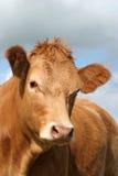 Vache à Brown Image stock