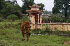 Vache à Brown avec le petit tombeau de campagne à l'arrière-plan, Vietnam photographie stock