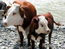 Vache à Brown avec le veau. Photo libre de droits