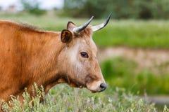 Vache à Brown dans le pré Photo libre de droits