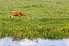 Vache à Brown dans le pré Photos libres de droits