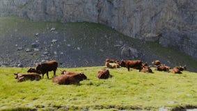 Vache à Brown dans les montagnes Images stock