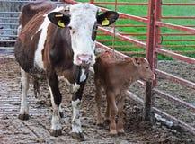 Vache à Brown et son veau brun en Irlande sur les lamelles concrètes avec des portes dans un champ images stock