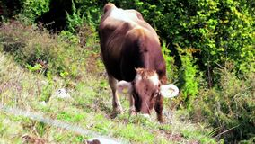 Vache à Brown frôlant sur le pré de montagne d'Alpes au jour ensoleillé d'automne banque de vidéos