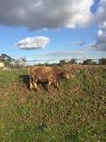Vache à Brown frôlant sur une colline verte dans la vallée de cygne photographie stock