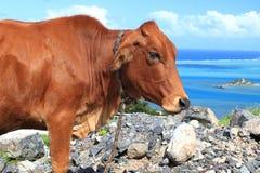 Vache à Brown harcelée par des mouches Photos libres de droits