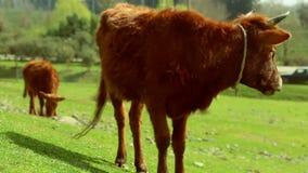 Vache à Brown mangeant l'herbe sur le champ de pré de wonderfull banque de vidéos