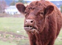Vache à Brown mangeant le foin Photos libres de droits