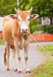 Vache à Brown sur la route Image libre de droits