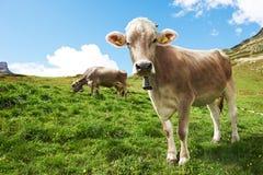 Vache à Brown sur le pâturage d'herbe verte Photo libre de droits