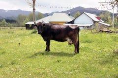 Vache à brun foncé contre le contexte du paysage de montagne Photo libre de droits