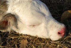 Vache à chéri photo libre de droits