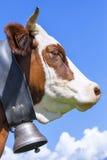 Vache à cornes Photos libres de droits