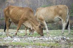 Vache à couples Image stock