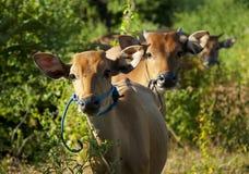 Vache à curiosités Photos stock