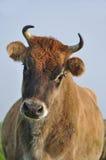 Vache à débardeur Images libres de droits