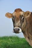 Vache à débardeur Image libre de droits