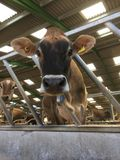 Vache à débardeur regardant l'appareil-photo image libre de droits