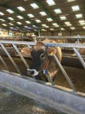 Vache à débardeur se tenant dans une grange, débardeur, Chanel Islands, Royaume-Uni Photos libres de droits