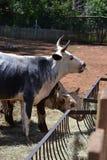 VACHE 2 À DSC_0105 NGUNI Photos libres de droits