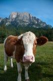 Vache à Fleckvieh Photographie stock libre de droits