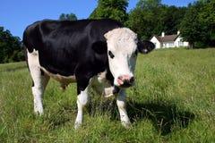 Vache à Freisian dans le pré vert Photographie stock