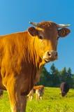 Vache à Hapy Photos stock