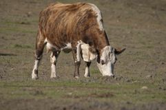 Vache à Hereford Photos libres de droits