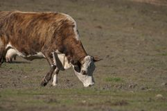 Vache à Hereford Photo stock