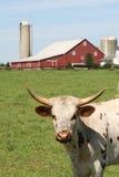 Vache à Hereford devant une exploitation laitière Photo libre de droits
