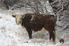 Vache à intervalle en hiver Photo stock
