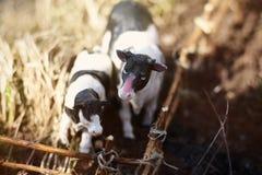 vache à jouet avec le veau photographié sur la rue avec une barrière des branches image stock