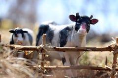 vache à jouet avec le veau photographié sur la rue avec une barrière des branches photo stock