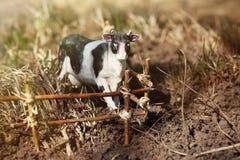Vache à jouet photographiée sur la rue avec une barrière des branches image stock