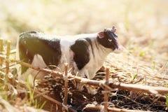 Vache à jouet photographiée sur la rue avec une barrière des branches images libres de droits