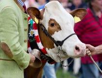 Vache à l'exposition Image stock