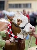Vache à l'exposition Photos stock